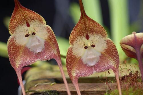 l'Orchidée singe
