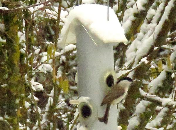 Les oiseaux du jardin durant l'hiver 2020-2021