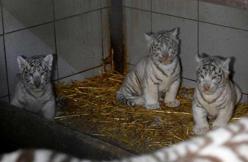 Trois tigres blancs sont nés à Amnéville, un événement rare