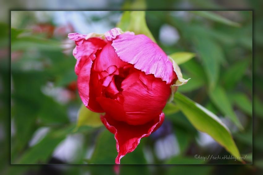 Rose pivoine...