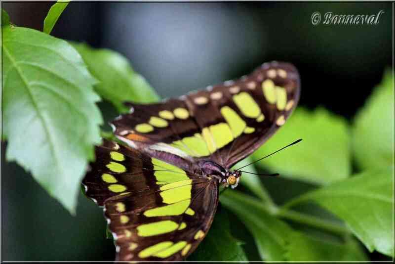 Papillons tropicaux Siproeta stelenes
