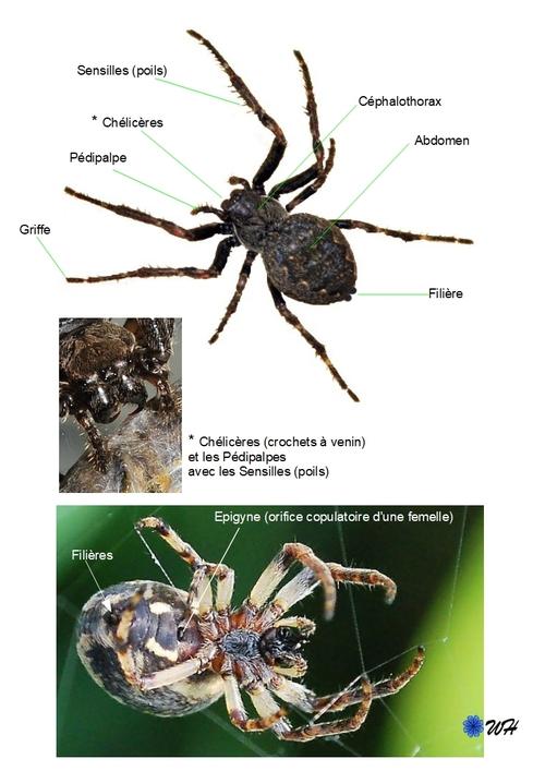 ♥ Les araignées ou arachnides