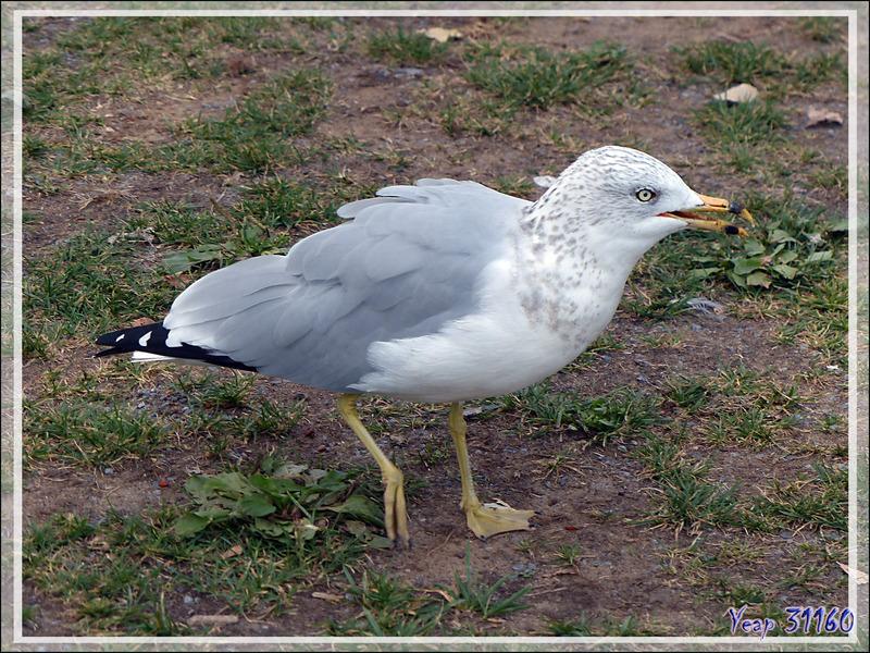 Goéland à bec cerclé, Ring-billed Gull (Larus delawarensis) - Montréal - Québec - Canada