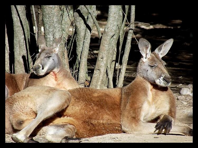 Tranches de vie d'un Australian Shepherd