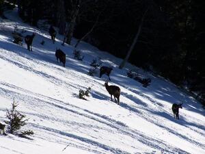 Chamois - Haut Jura