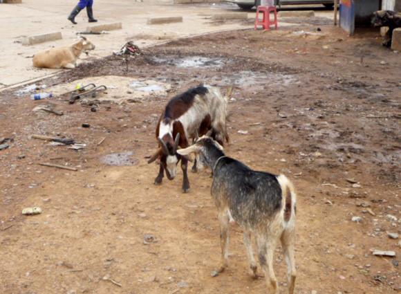 Kipushi : Divagation des animaux