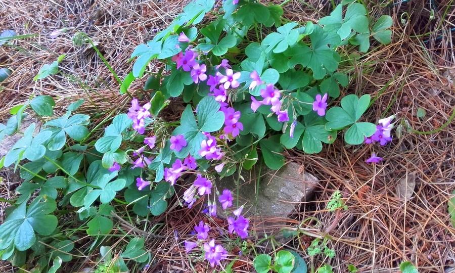 petite oseille  ( oxalis )  ( fleurs sauvages )