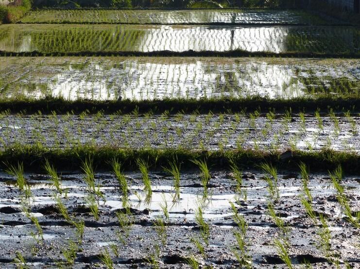 Les rizières d'Ubud : un espace menacé