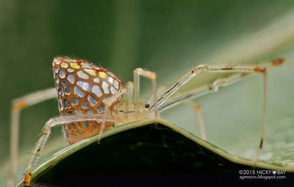 La mosaïque de plaques argentées qu'arbore Thwaitesia argentiopunctata s'étend lorsque l'araignée se met au repos. Progressivement, elles couvrent tout son abdomen. © Nicky Bay, tous droits réservés