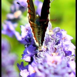 Azuré Commun ou Argus Bleu ou Azuré de la Bugrane ou Polyommatus Icar