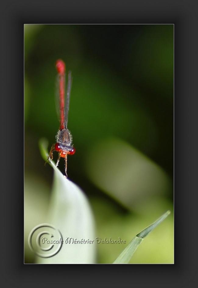 Agrion délicat (Ceriagrion tenellum)
