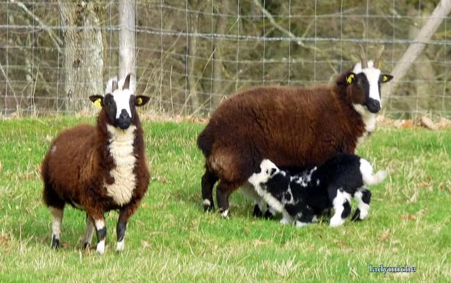 Le mouton Jacob.