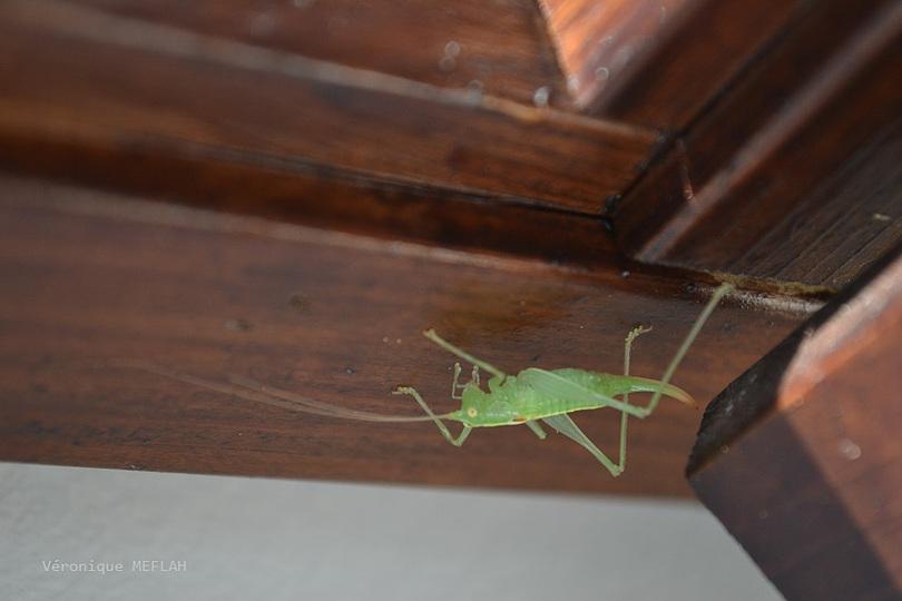 """Rambouillet : """"Petite"""" grande sauterelle verte"""