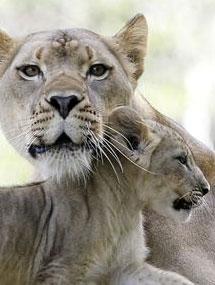 Un lionceau d'il y a bien longtemps ...