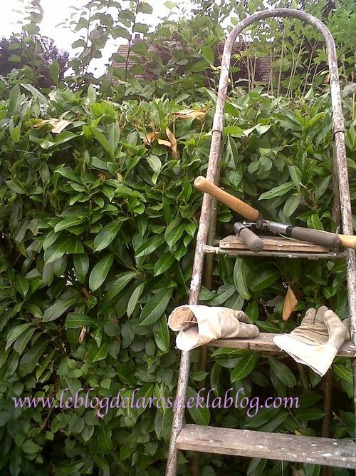 Taille haie de lauriers/Pruning laurels hedge