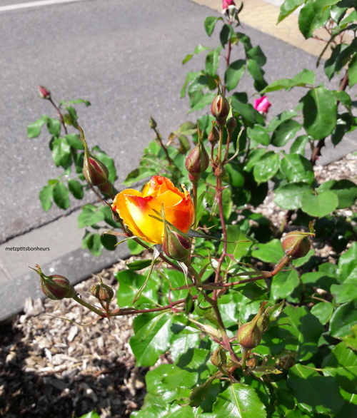 ... au nom de la rose...