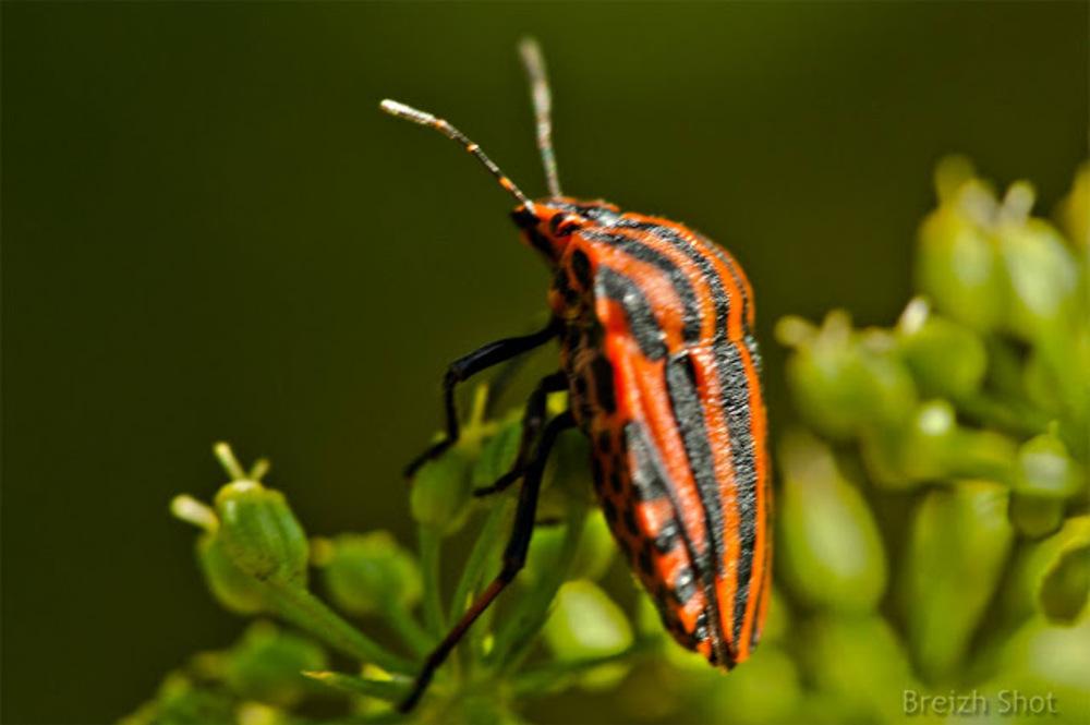 Graphosome italien - Punaise arlequin