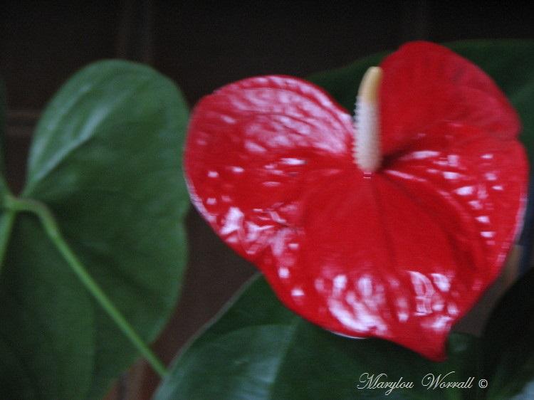 Ma dernière orchidée