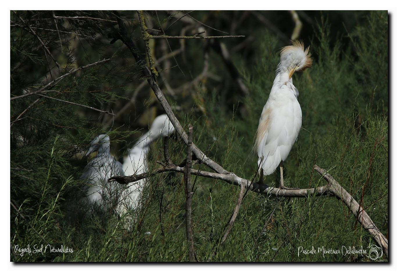 Hérons garde-boeufs en Camargue