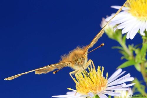 Papillon Petit Nacré (Issoria lathonia)