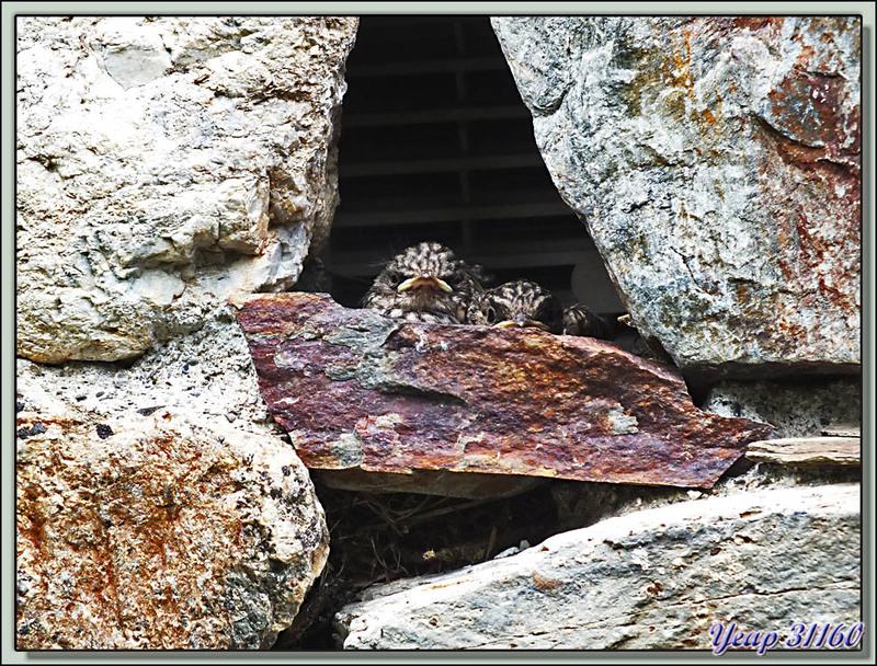 Gobemouche gris (Muscicapa striata) - Lartigau - Milhas - 31
