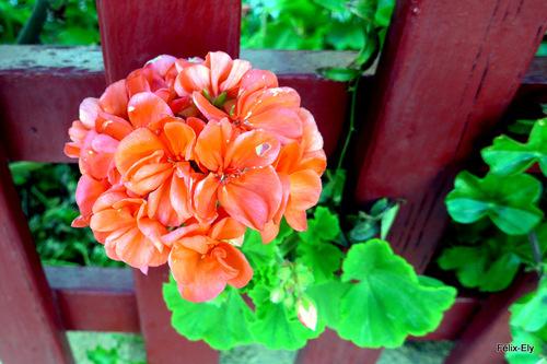 Jolis fleurs : des géraniums