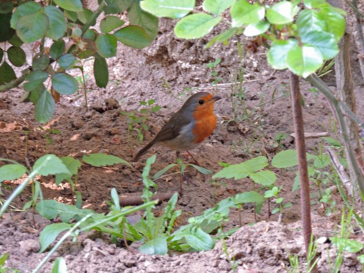 Rouge gorge .Compagnon du jardinier.(Robin red breast).Images gratuites