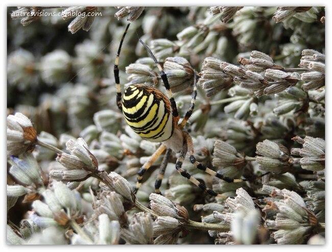Une araignée abeille !? ...