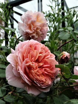 Le temps des roses (part 3)