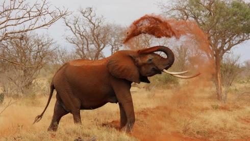 Éléphant s'aspergeant de terre rouge