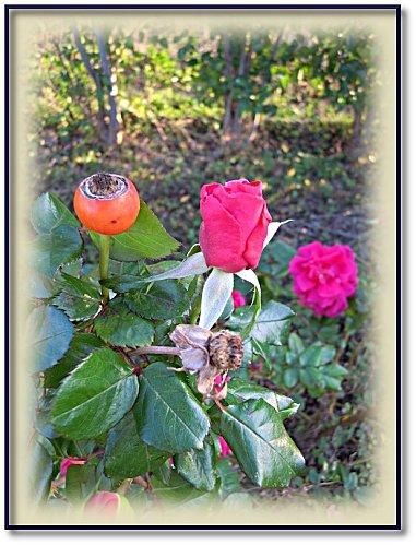 rose-jardin-11-1.jpeg