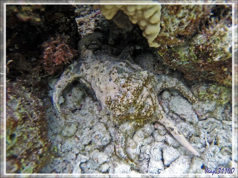 norkeling : Strombe araignée, Strombe chiragre, Ptérocère rugueux, Chiragra spider conch (Lambis chiragra arthritica) - Moofushi - Atoll d'Ari - Maldives