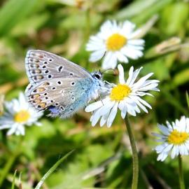 Bel argus ou Azuré Bleu-Céleste ou Lysandra Bellargus