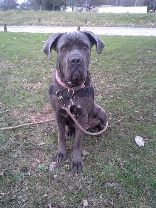 Litzie, cane corso de 1 an