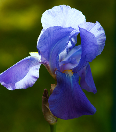 L'iris bleu ...