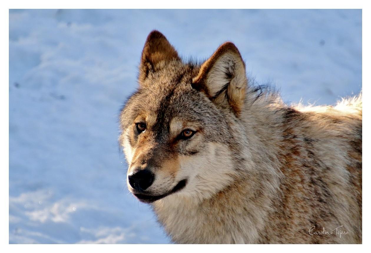 Portraits de Loups gris