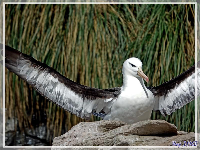 Albatros à sourcils noirs, Black-browed Albatross (Thalassarche melanophris) - The Neck (Le Détroit) - Saunders Island - Falkland (Malvinas, Malouines) - Grande-Bretagne
