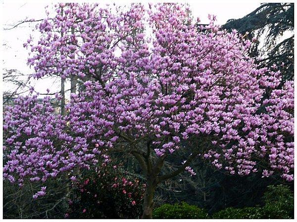 magnolia11.jpg