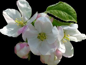 Résultat d'images pour gifs pommiers en fleurs