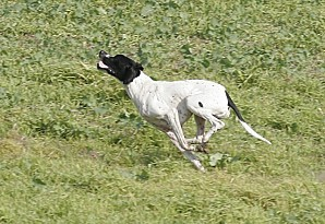 Pointer_galop_III.jpg