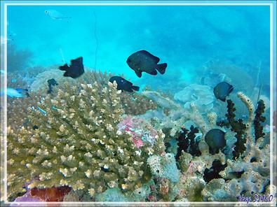"Richesse corallienne mais assez peu de poissons - Spot de plongée ""Sugar Man"" - Nosy Tsarabanjina - Archipel Mitsio - Madagascar"