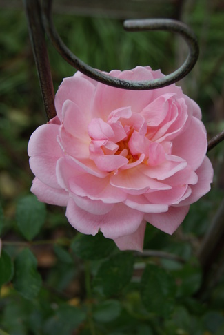 rose Lovely Meilland