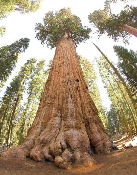 Séquoia géant baptisé Général Sherman