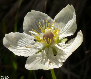 Parnassia palustris  -  parna