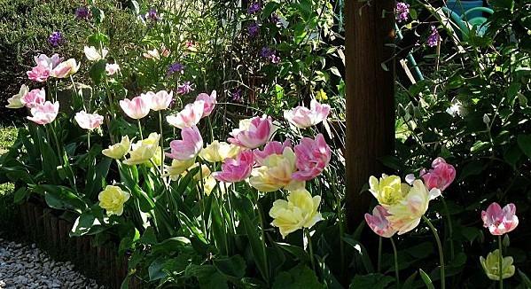 Tulipes-Upstar-rose-jaune--19-04-10-020.jpg