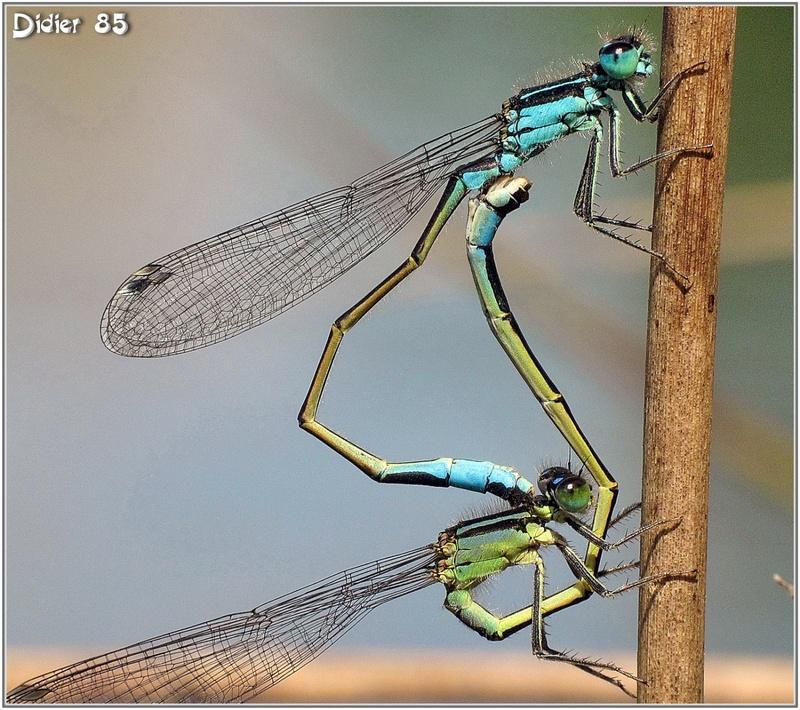 Agrion élégant (4) - Ischnura elegans - Accouplement