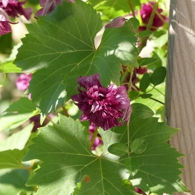 La clématite Purpurea Plena Elegans...
