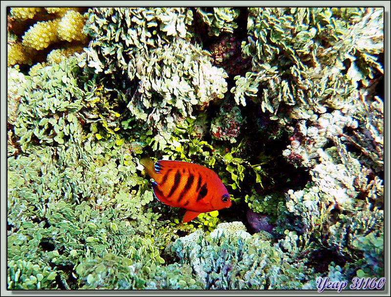Plongée bouteille Passe de Tiputa : Poisson-ange flamme (Centropyge loriculus) - Rangiroa - Polynésie française