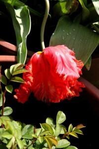 Tulipes Rococo5