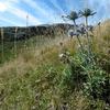 Chardon bleu des Pyrénées ou Panicaut de Bourgat (Eryngium bourgatii)